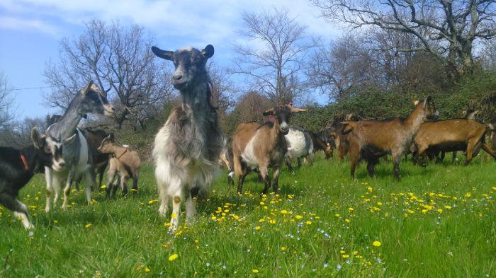 Les chèvres de Vendrias